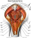 male pudendal nerve