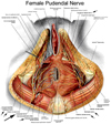 female pudendal nerve
