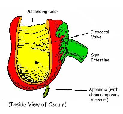 appendix, cecum, ileocecal valve