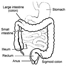 colon, small intestines